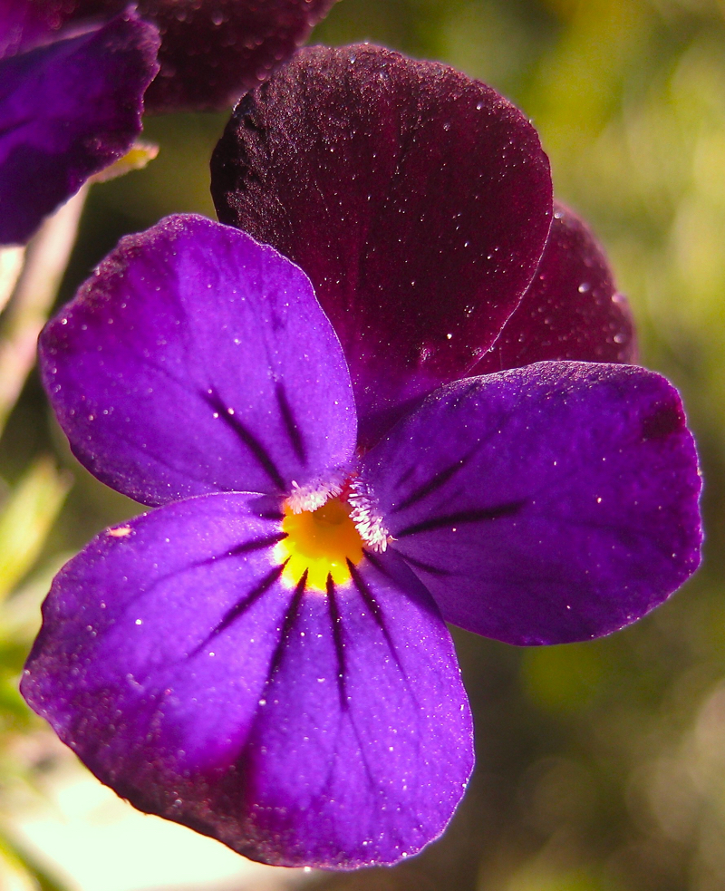 Candied or Sugared Violets: A Spectacular Garnish