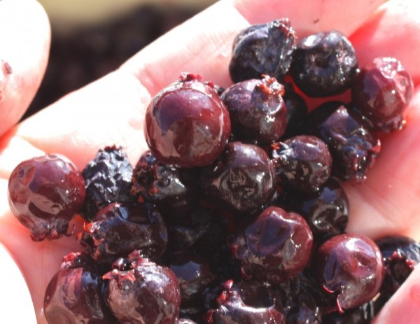 Saskatoon Berry Jam: The Traditional Recipe - A Canadian Foodie