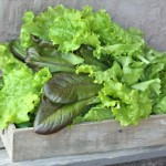 Garden Lettuce Bounty June 14, 2012
