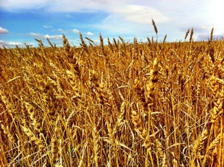 Sarah Yogi in Action Wheat