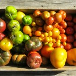 Heirloom Tomato Harvest 2013: Zone Three