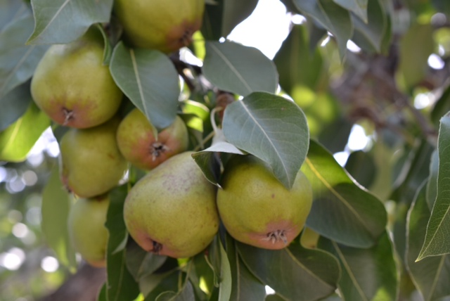 Liliana pear tree