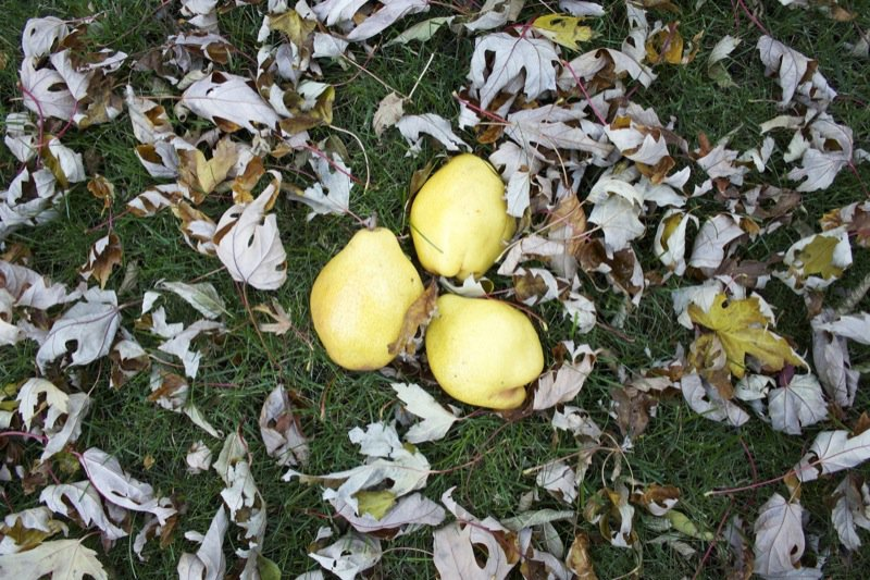 six kieffer pears in grass