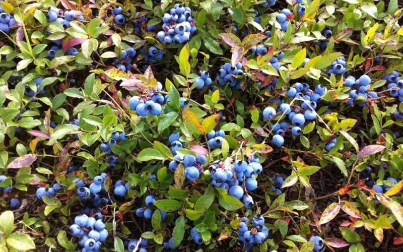 Bonnyman's Wild Blueberries