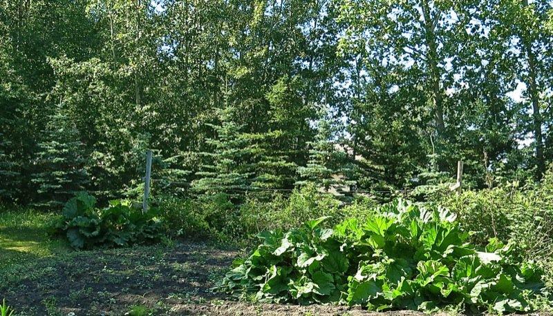 10 Zone 3 Rhubarb