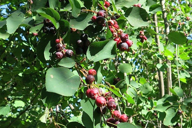 27 Saskatoon Berries