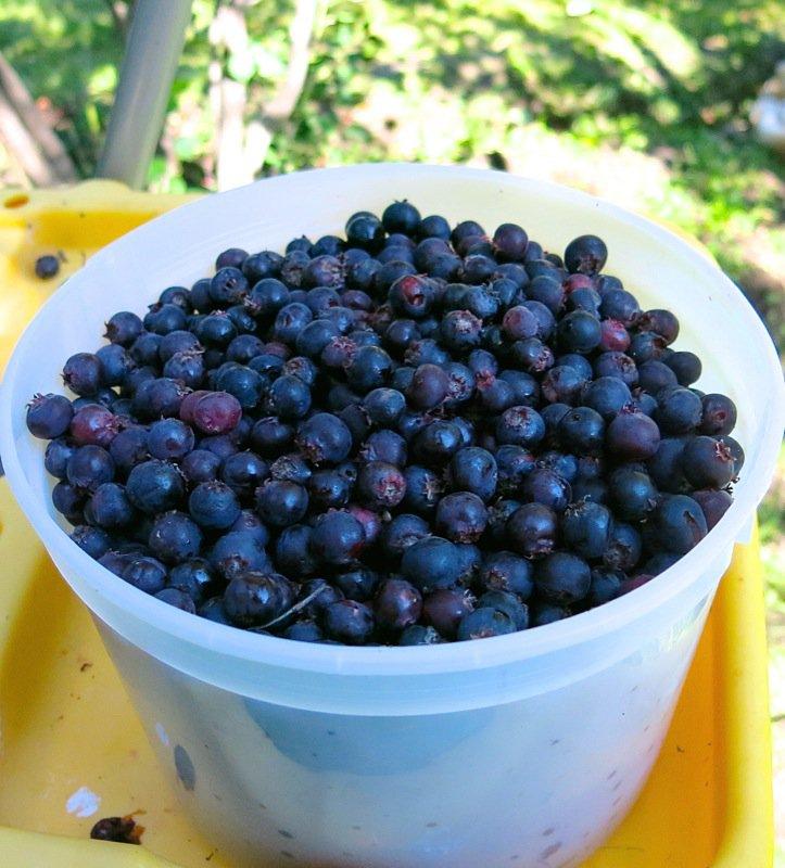 28 Saskatoon Berries