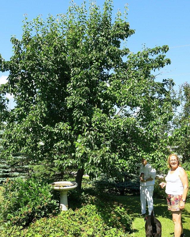6 Zone 3 Pear Tree