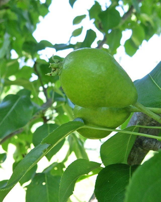 7 Zone 3 Pear Tree