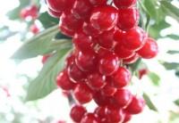 Evans Cherries Zone 3 Garden