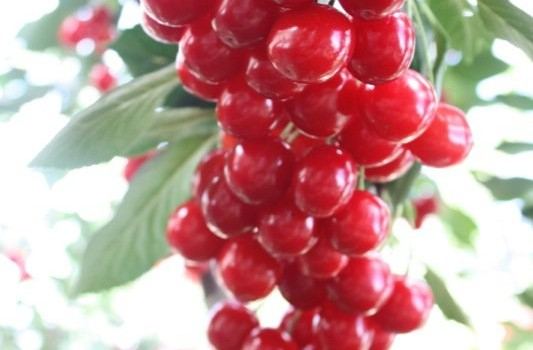 Cherry Harvest 2014: Freezing and Pitting Sour Cherries