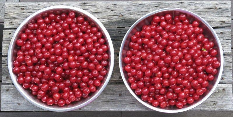 1 Evans Cherry Harvest 2014
