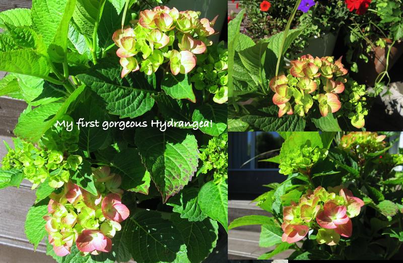 14 Hydrangea 2016