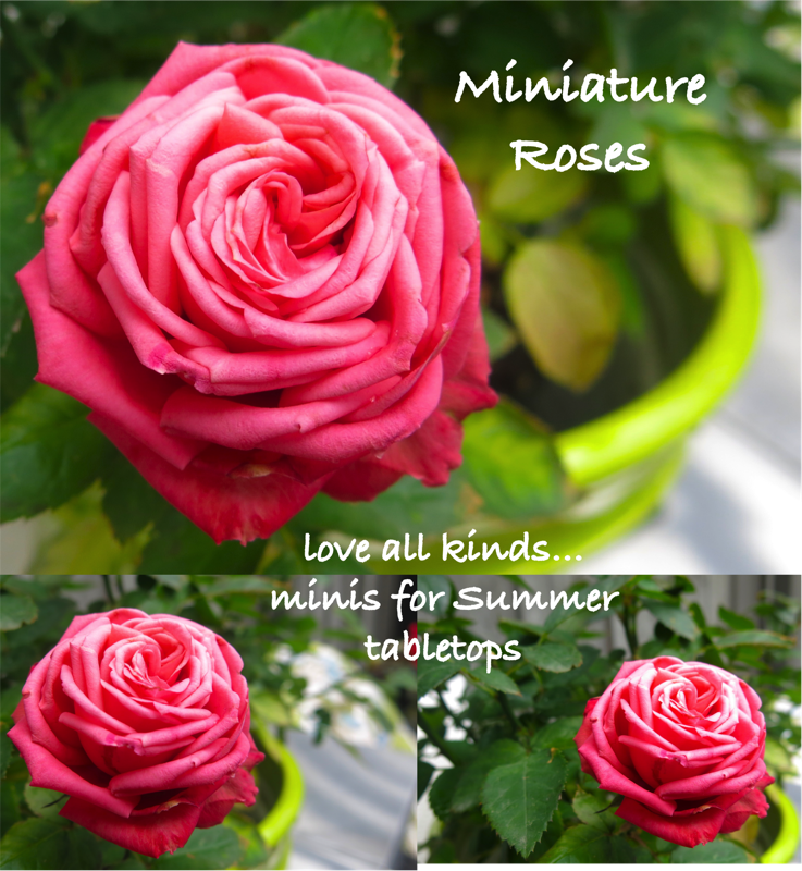 17a Miniature Roses