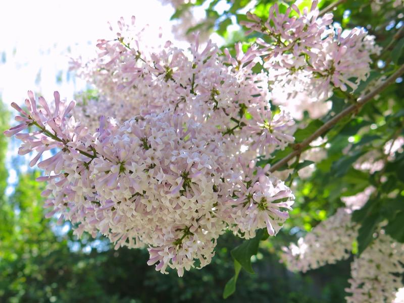 5 Oramental Lilac 2016