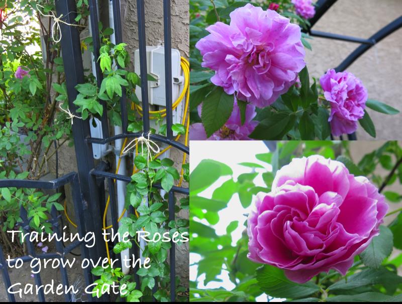 56 Training Roses
