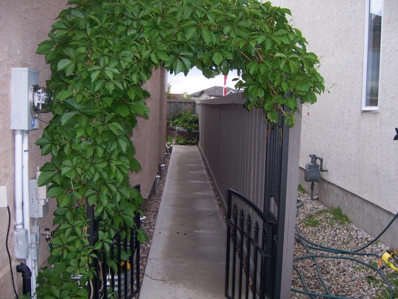 57 Garden Gate 2008 Virginia Creeper