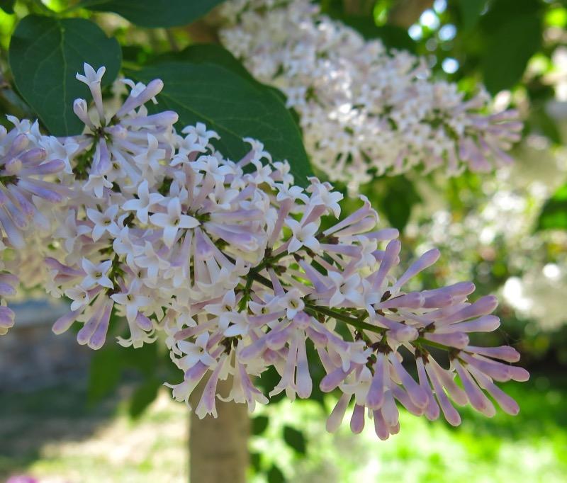 6 Oramental Lilac 2016